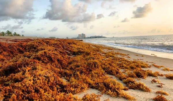 Sargassum on Palm Beach