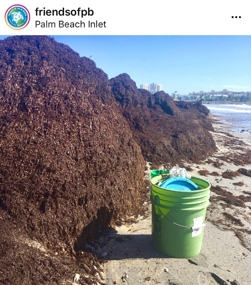 Seaweed Palm Beach Inlet - Courtesy of Friends of Palm Beach