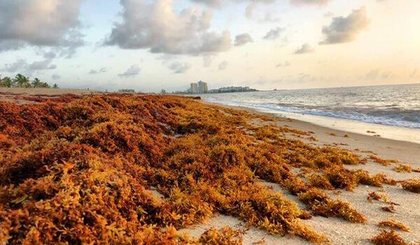 Sargassum on Palm Beach