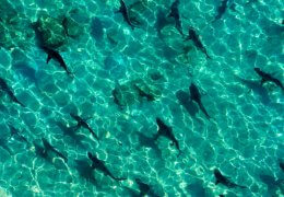 Blacktip sharks are responsible for the most shark bites in Florida, although bites are rare. Town of Palm Beach News